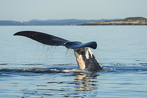 North Atlantic right whale (Eubalaena glacialis) tail fluke with severe entanglement scars. Bay of Fundy, Canada, September.  -  Nick Hawkins