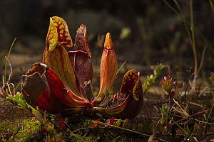 Northern pitcher plant (Sarracenia purpurea) photographed on Borgle's Island, Nova Scotia, Canada, September.  -  Nick Hawkins