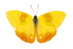 Orange-barred sulphur butterfly (Phoebis philea) pe. Costa Rica - Nick Hawkins