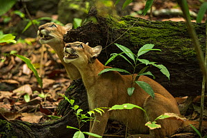 Pumas (Puma concolor) stalking a troop of howler monkeys,  Corcovado National Park, Costa Rica, May.  -  Nick Hawkins