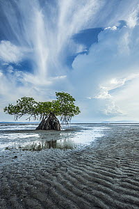 Red mangrove tree (Rhizophora mangle) on coast, Gulf of Nicoya, Costa Rica, April. - Nick Hawkins