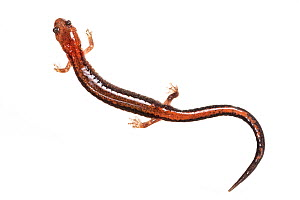 Redback salamander (Plethodon cinerous), photographed on white background, New Brunswick, Canada, May.  -  Nick Hawkins
