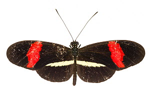 Small postman butterfly (Heliconius erato) photographed on white background, Costa Rica. - Nick Hawkins