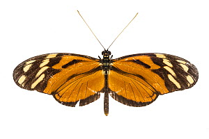 Tiger longwing butterfly (Heliconius hecale) photographed on white background, Costa Rica. - Nick Hawkins