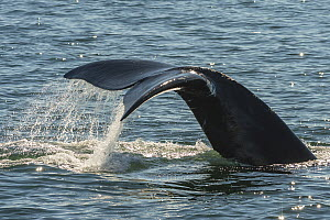 North Atlantic Right Whale (Eubalaena glacialis) tail fluke ,in the Bay of Fundy, Canada, September. - Nick Hawkins
