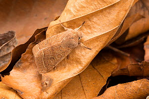 RF - Common quaker moth (Orthosia cerasi) camouflaged on leaf, Catbrook, Monmouthshire, March. Focus stacked image. (This image may be licensed either as rights managed or royalty free.)  -  Chris Mattison