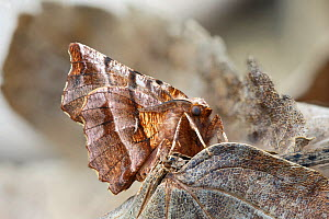 RF - Early thorn moth (Selenia dentaria) Catbrook, Monmouthshire, Wales, UK. March (This image may be licensed either as rights managed or royalty free.)  -  Chris Mattison