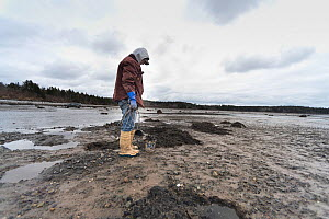 Man digging for clams at low tide in winter. Cutler, Maine, USA, January 2017. Model released.  -  Jeff Rotman
