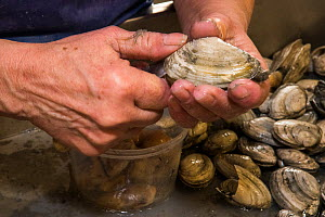 Person shucking clams at Community Shellfish Co, Bremen, Maine, USA, January 2017. Model released.  -  Jeff Rotman