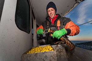 Lobster fisherman puts rubber band on claws to prevent cannabalism. Portland, Maine, USA, December 2016. Model released.  -  Jeff Rotman