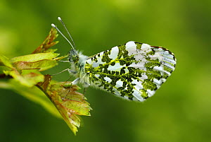 Orange-tip butterfly (Anthocharis cardamines) male resting on a leaf wings closed, Southwest London, England, UK. April.  -  Russell Cooper