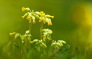 Cowslips (Primula veris) North Downs, Surrey, UK, April.  -  Russell Cooper