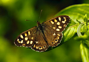Speckled wood butterfly (Pararge aegeria) Southwest London, England, UK. April.  -  Russell Cooper