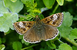 Dingy Skipper butterfly (Erynnis tages)  April  North Downs  Surrey  UK - Russell Cooper