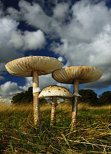 Parasol mushrooms (Lepiota procera) low angle view, Richmond Park National Nature Reserve. Surrey, England, UK, October.  -  Russell Cooper