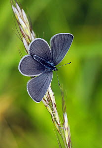 Small blue butterfly (Cupido minimus) resting on a grass stem,  Surrey, England, UK. June. - Russell Cooper