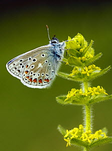 Common blue butterfly (Polyommatus icarus) male resting  on Crosswort flower (Galium cruciata) North Downs, England, UK, May. - Russell Cooper