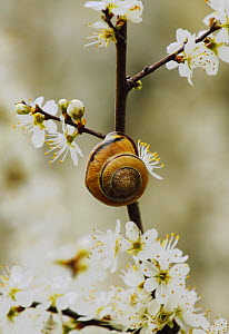 Banded Snail (Cepaea nemoralis) on Blackthorn, Southwest London, England, UK. April. - Russell Cooper