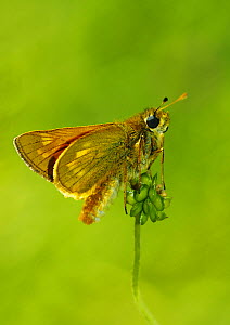 Large skipper butterfly (Ochlodes venata)  Southwest London, England, UK, June. - Russell Cooper