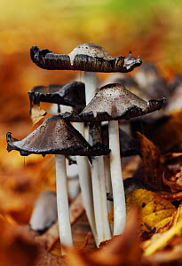 Common Ink Cap fungi (Coprinus atramentarius) deliquescing /caps dissolving into ink, amongst leaf litter. Southwest London, England, UK, October.  -  Russell Cooper