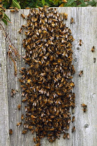 Honeybee (Apis mellifera) swarm on a garden fence,  Southwest London, England, UK. April. - Russell Cooper