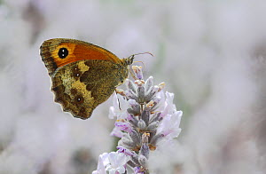 Hedge Brown / Gatekeeper butterfly (Pyronia tithonus) feeding from lavender. Surrey, England, UK. July. - Russell Cooper