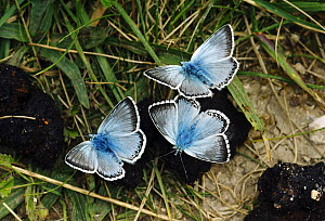 Chalkhill blue butterflies (Lysandra coridon) males feeding from animal faeces. North Downs, Surrey, England, UK, July. - Russell Cooper