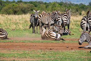 Grant's zebra (Equus burchelli granti) resting and taking a dust bath, Masai-Mara Game Reserve, Kenya  -  Denis-Huot