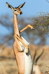 Gerenuk (Litocranius walleri) female standing on hind legs to feed on acacia tree, Samburu Game Reserve, Kenya  -  Denis-Huot