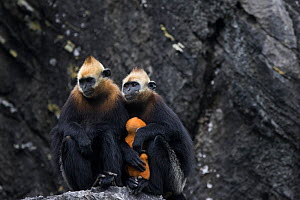 Cat Ba langur (Trachypithecus poliocephalus) females with infant,endemic to Cat Ba island, Ha Long Bay UNESCO World Heritage Site,  Vietnam. Critically Endangered - Cyril Ruoso