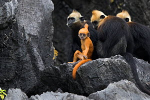 Cat Ba langur (Trachypithecus poliocephalus) females with infant, endemic to Cat Ba island, Ha Long Bay UNESCO World Heritage Site,  Vietnam. Critically Endangered - Cyril Ruoso