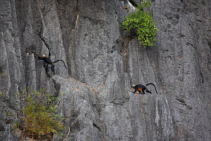Cat Ba langur (Trachypithecus poliocephalus) female with infant on karst cliffs, Ha Long Bay UNESCO World Heritage Site, endemic to Cat Ba island, Vietnam. Critically Endangered - Cyril Ruoso