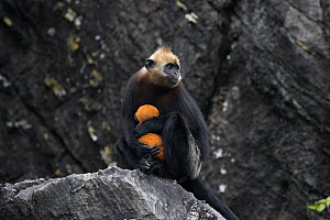 Cat Ba langur (Trachypithecus poliocephalus) female with infant, Ha Long Bay UNESCO World Heritage Site, endemic to Cat Ba island, Vietnam. Critically Endangered - Cyril Ruoso