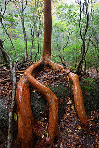 Tree roots (Stewartia) Sub-tropical rainforest tree in Shiratani Unsuikyo Ravine, Yakushima Island, UNESCO World Heritage Site, Japan.  -  Cyril Ruoso