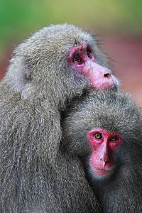 Yakushima macaque (Macaca fuscata yakui) adult and infant, Yakushima Island, UNESCO World Heritage Site, Japan. Endemic to Yakushima Island.  -  Cyril Ruoso