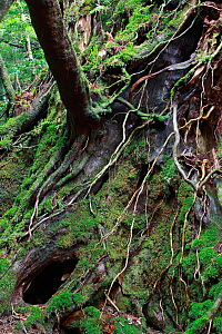 Sub-tropical rainforest in Shiratani Unsuikyo Ravine, Yakushima Island, UNESCO World Heritage Site, Japan.  -  Cyril Ruoso