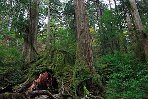 The Wilson stump, a  Japanese sugi pine (Cryptomeria) which was  cut by the Shimazu clan in 1586, at an estimated age of over 3,000 years. The base circumference is 32 m and 4.39 m across at chest hei...  -  Cyril Ruoso