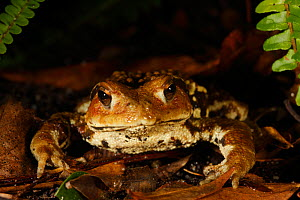 Japanese common toad (Bufo japonica) Yakushima Island, UNESCO World Heritage Site, Japan. Endemic to Yakushima Island.  -  Cyril Ruoso