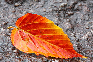 Autumnal leaf, Shiratani Unsuikyo, Yakushima Island, UNESCO World Heritage Site, Japan.  -  Cyril Ruoso