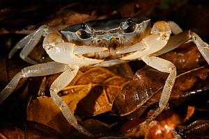 Crab in leaf litter, Yakushima Island, UNESCO World Heritage Site, Japan.  -  Cyril Ruoso