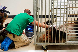 Giant panda (Ailuropoda melanoleuca) female, Huan Huan, undergoing an ultrasound scan by chief veterinarian, Baptiste Mulot. Taken 4 days before the birth of her baby. Beauval Zoo, France, 1st August... - Eric Baccega