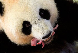 Giant panda (Ailuropoda melanoleuca) female, Huan Huan, holding her newborn baby in mouth, 3 and a half  days old, Beauval Zoo, France. 8th August 2017 - Eric Baccega