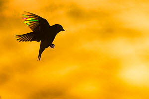 European Greenfinch (Chloris chloris) flying at dawn. When backlit the tiny transparent barbs that make up the feather act like a prism revealing vivid colours in the early light. Monmouthshire, Wales...  -  Phil Savoie