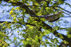 Wood pigeon (Columba palumbus) in flight with nesting material, Monmouthshire, Wales, UK, May. - Phil Savoie