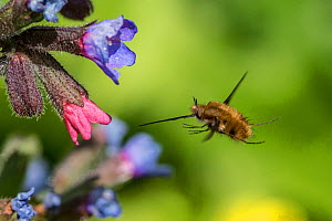 Bee fly  (Bombylius major) feeding, in flight from Lungwort (Pulmonaria officinalis), Monmouthshire, Wales, UK, April.  -  Phil Savoie