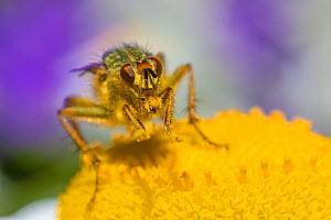 Yellow dung fly (Scathophaga stercoraria)  feeding on pollen, UK, June 2014.  -  Phil Savoie