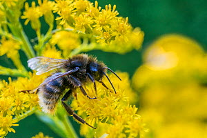 Field cuckoo bumblebee (Bombus campestris) feeding on Goldenrod (Solidago). Monmouthshire, Wales, UK. September.  -  Phil Savoie
