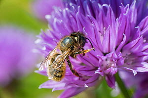 Red mason bee (Osmia bicornis) pollinating Chive (Allium schoenoprasum) Wales, UK. June.  -  Phil Savoie