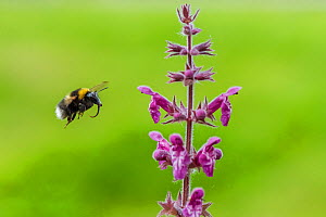 Garden bumblebee  (Bombus hortorum) flying to  Purple toadflax (Linaria purpurea) Monmouthshire, Wales, UK, July.  -  Phil Savoie
