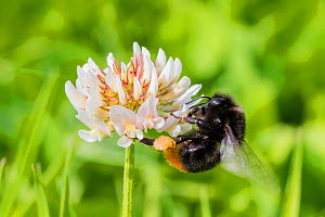 Red tailed bumblebee (Bombus lapidarius) queen feeding on White clover (Trifolium repens) flowers, Monmouthshire, Wales, UK. July.  -  Phil Savoie